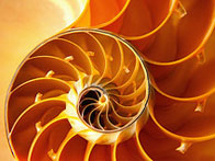 Close-up of nautilus shell's inner chambers in orange and yellow tones
